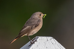 Black Redstart female - Photo of Saint-Flovier