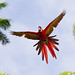Scarlet macaw in bound by Corey Hayes