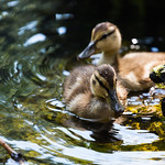 Ducklings of High Park