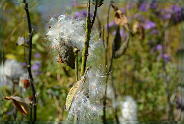 \\\ Bursting Milkweed Pods ///