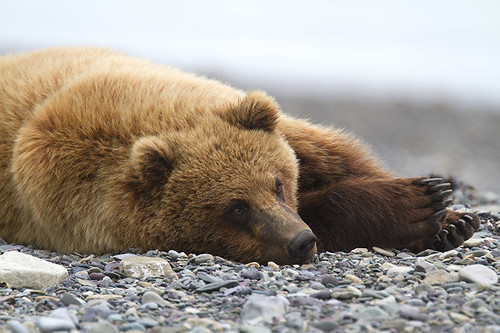 Grizzly Bears, British Columbia, Canada.