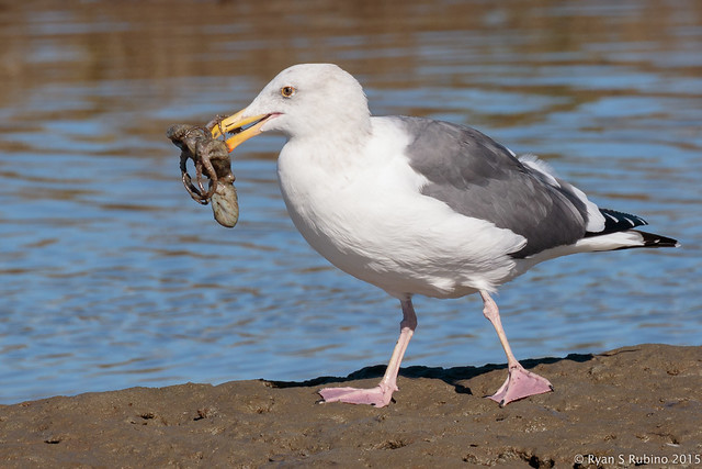 Rubino Western Gull Octo-Gull with octopus 20151122 Bolsa Chica Ecological Reserve_San Joaquin Wildlife Sanctuary CA 1560
