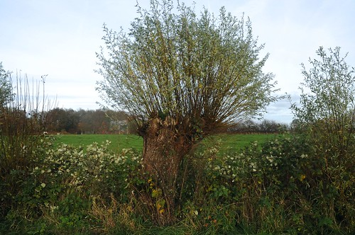 Korbweide (Salix viminalis) als Kopfweide in Drage, Stapelholm (16)