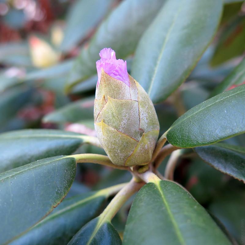Late autumn azalea bud