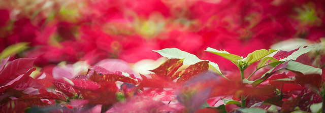 聖誕節花卉展