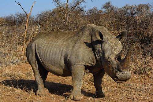 rhinoceros d810 nikonafs80400f4556g southafrica madikwe