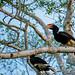 Rhinoceros Hornbill (Clive Turnbull)
