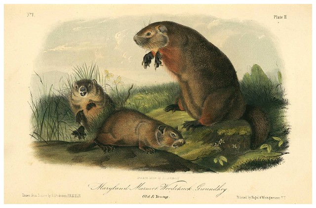 001-Marmota de Maryland-The quadrupeds of North América-Vol1- 1849- J.J. Audubon-Universite de Strasbourg