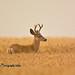 Mule Deer Buck DSC_8506 by Ron Kube Photography