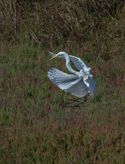 Great Egret (Ardea alba)