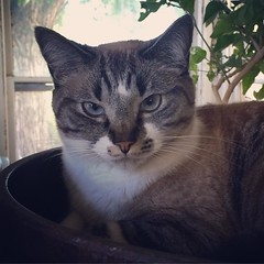 The lovely Princess Lorelei making herself at home in the pot with the avocado tree. <3 #kitty #cat #catsofinstagram