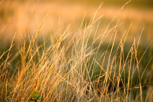 A wheat field