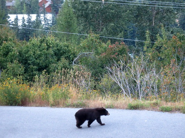 Just a bear strolling down the road