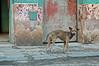 stray dog in La Habana Vieja