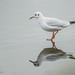Seagull by Baljinder.Gill