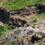 Mo, 02.11.15 - 12:49 - Pinguinera Islote de Piñihuil