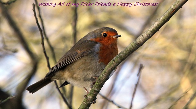 Wishing all My Flickr Friends a Rocking Robin Christmas!