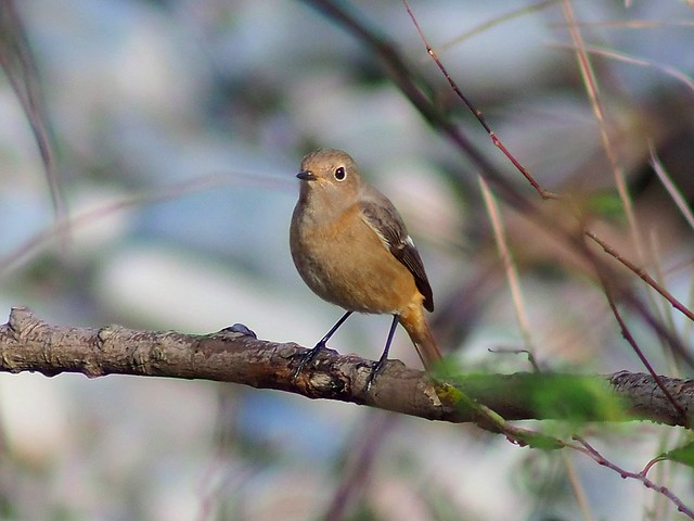 Daurian redstart female (ジョウビタキ)