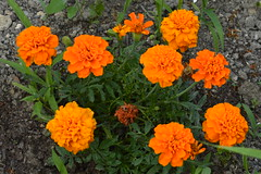 Fleurs orangées - Photo of Mareuil