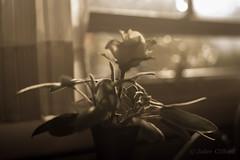 Sage Rose with Bokeh