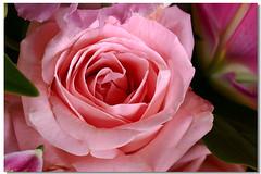 「玫瑰花」'16aa