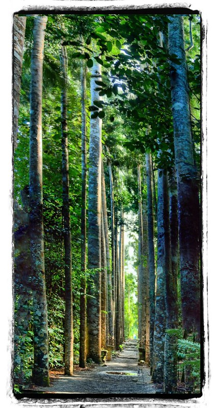 Rainforest Kauri Avenue