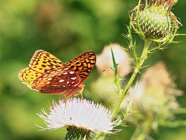 Great Spangled Fritillary 20150902