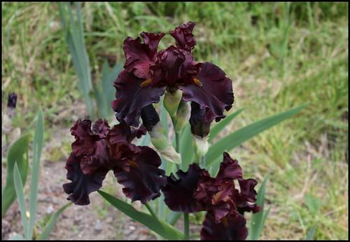 Iris Raptor Red (4)