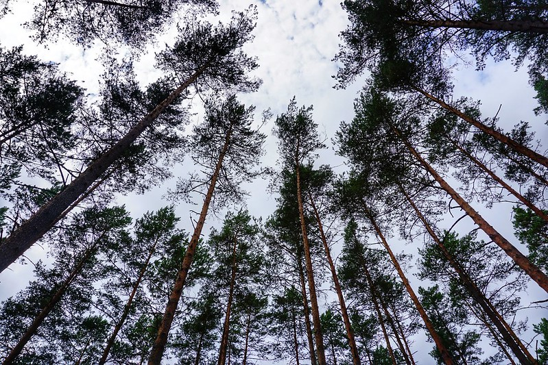 Trees and sky, Latvia
