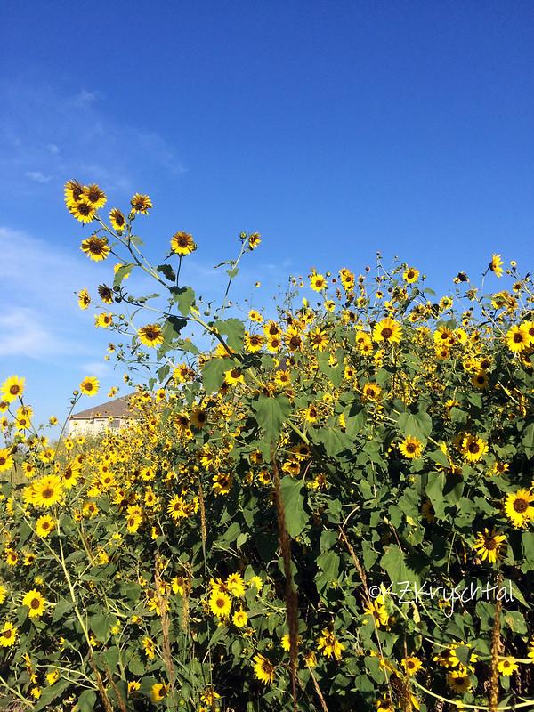 IMG_1698Sunflowers