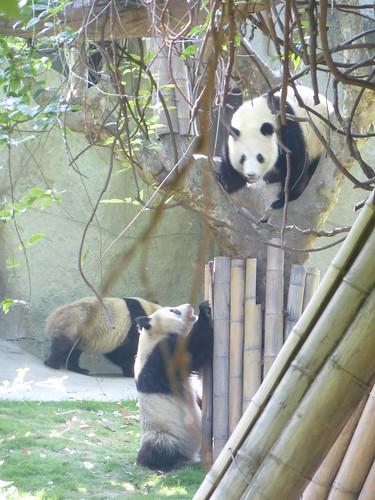 CH-Chengdu-Panda-géant (9)