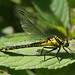 Common clubtail by tarboat