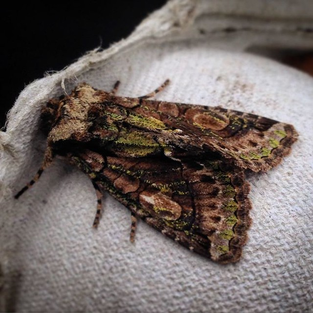 Who says moths are boring? This is a Green Brindled Crescent #moths