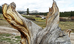 Old Wood, Tuolumne Meadows, Yosemite 5-15
