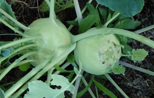 two kohlrabi plants growing together