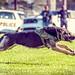 Police K9 dog: full sprint by rikki480