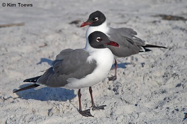 Laughing Gulls (Leucophaeus atricilla) - Tierra Verde, FL