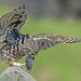 Little owl  by den9112