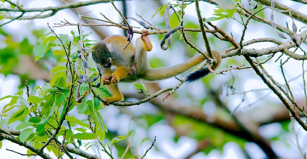 10_Black-capped Squirrel Monkey (Saimiri boliviensis)_7