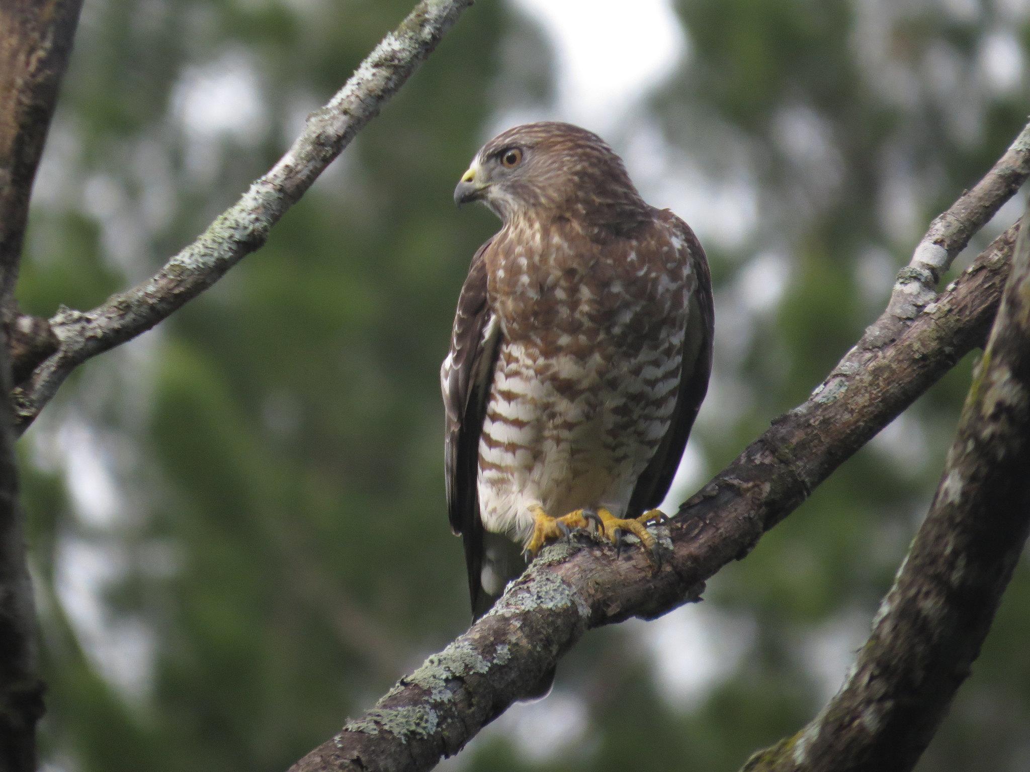Broad-winged Hawk by Seth Inman - La Paz Group
