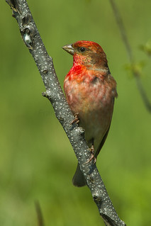 Common Rosefinch - Slovenia_S4E6014