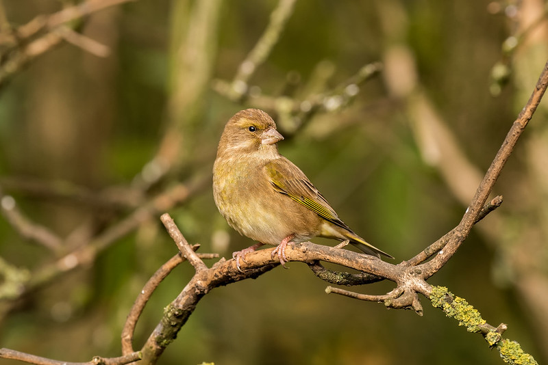 Female Greenfinch