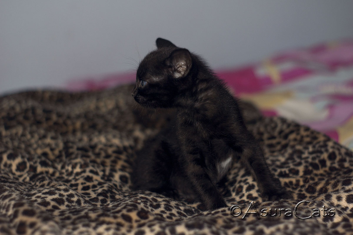Rosetted melanistic Bengal - AsuraCats Brienne
