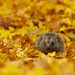 Autumn Hedgehog by Sweetmart