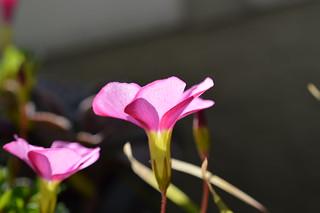 Oxalis 'momo-no-kagayaki' オキザリス 桃の輝き