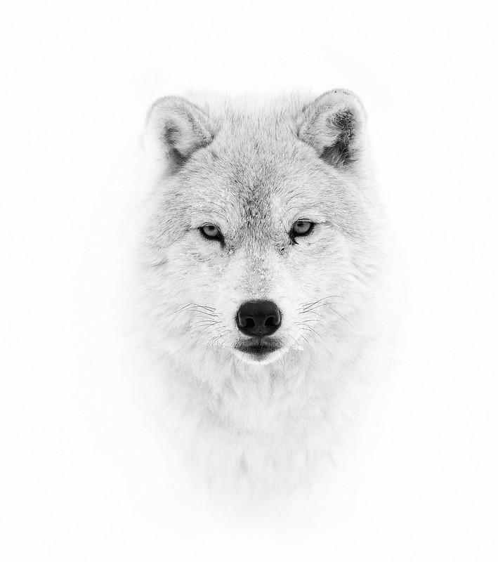 Arctic wolf closeup