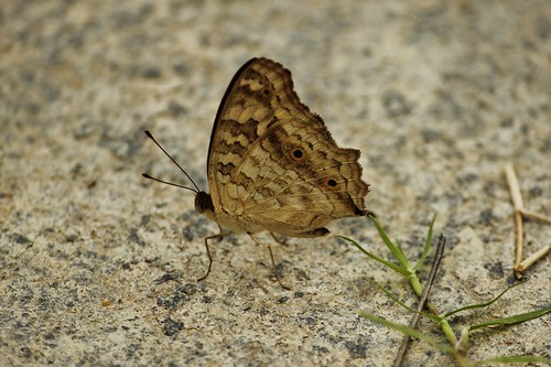 Butterfly-Adyar-Poonga-2