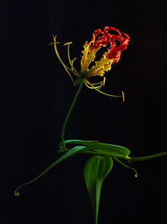 Flame of Nature - Gloriosa superba (flame lily)