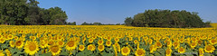 Sunflower Field at Grinter Farms, Pano, 5 Sept 2015