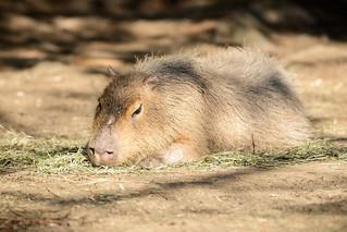 Capybara Resting